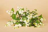Bouquet from the blossoming jasmine branches, on a beige background — Stock Photo