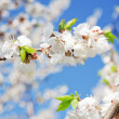 Blossoming branch of cherry — Stock Photo