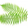 Two ferns — Stock Photo #32303141