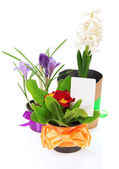 Pots with the flowers, decorated by a tape a card, isolated on white — Stock Photo