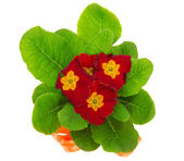 Bright primula close up, isolated on white — Stock Photo