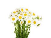 Bouquet de fleurs de camomille beau beaucoup — Photo