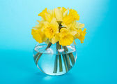 Gentle yellow narcissuses in a glass vase, on a blue background — Stock Photo