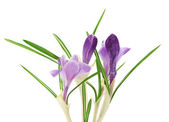Bright crocuses close up, isolated on white — Stock Photo