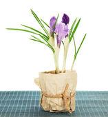 горшок с крокусы на бамбуковой ткани, изолированные на белом — Стоковое фото