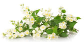 The charming gentle branch of an odorous jasmine isolated on white — Stock Photo