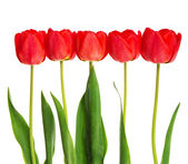 Border of beautiful fresh red tulips lined up isolated on white — Stock Photo