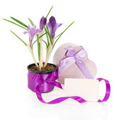 Crocuses, the gift box decorated with tapes, the card isolated on white — Stock Photo