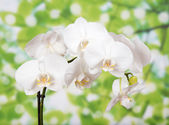Bud of a white orchid — Stock Photo