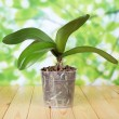 Phalaenopsis orchid in pot on wooden table — Stock Photo
