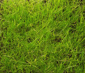 Just trimmed grass closeup. Background, texture. — Stock Photo