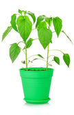 Green plants in pot — Stock Photo
