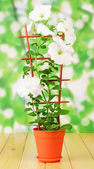 White petunia flower in pot — Stock Photo