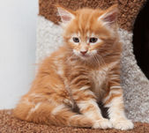 Maine Coon kitten — Foto Stock