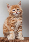 Maine Coon kitten — Stock Photo