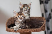 Maine Coon kitten — Stockfoto