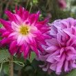 Colorful Dahlias — Stock Photo #36453585