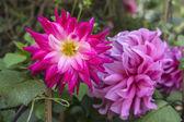 Colorful Dahlias — Stock Photo