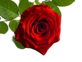 Beautiful photography of inside the red rose with leave — Stock Photo