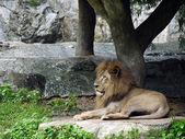 Lion lies down for surveillance — Stock Photo
