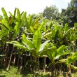 Banana forest on mound — Stock Photo