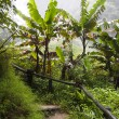 Nature way in banana forest — Stock Photo