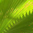 Palm leaf Texture — Stock Photo #32142983
