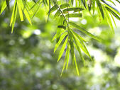 Bamboo leaves in the forest — Stock Photo