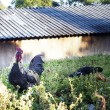 Chickens on the lawn — Stock Photo #38951753