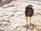 Old hen on the ground — Stock Photo