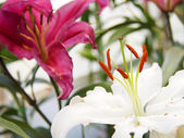Beautiful lily in the garden — Stock Photo