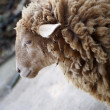 Stock Photo: Shaggy sheep