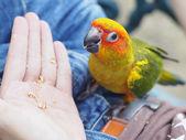 Feeding Sun Conure Bird — Zdjęcie stockowe
