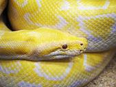 黄色いヘビ — ストック写真