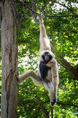 Naughty gibbon — Stock Photo