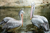 Couple of Pelican — Stock Photo