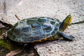 Tortuga en la naturaleza — Foto de Stock