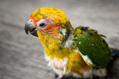 Baby Sun Conure Parrot on the wooden background — Stock Photo