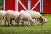White sheep in the field — Stock Photo
