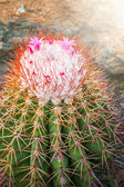 Beautiful Cactus in the garden — Stock Photo