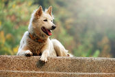 Fluffy White Dog — Stock Photo
