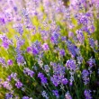 Stock Photo: Lavender Flowers