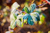 Leaves of the plant in frost. — Stock Photo