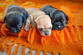 Chihuahua puppies — Stockfoto