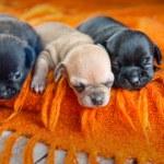 Постер, плакат: Chihuahua puppies