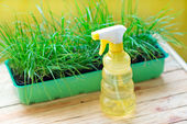Green grass in a pot and watering can for watering — Стоковое фото