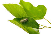 Moth caterpillar on a green leaf — Stock Photo