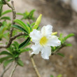 Stock Photo: White Mock Azalea