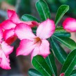 Mock Azalea — Stock Photo