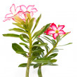 Mock Azalea Beautiful — Stock Photo